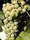 Chasselas Blanc